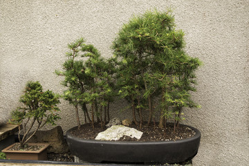 Forest and single tree - bonsai