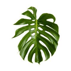 large green shiny leaf of monstera