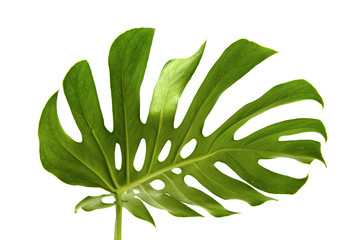 large greef shiny leaf of monstera