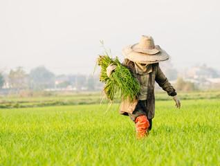 crop baby rice in terrace