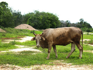 gray cow on green field