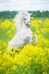 White shetland pony rearing up on the field with yellow flowers