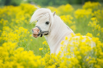 Portrait of smiling shetland pony on the field with yellow flowers