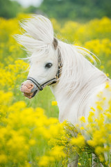 Portrait of funny white shetland pony with mane flying in the air