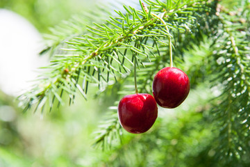 Fresh red cherry on christmas tree