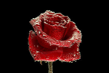 Red rose covered with bubbles