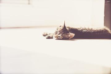 Pensive Gray Tabby Kitten Lying on the Floor