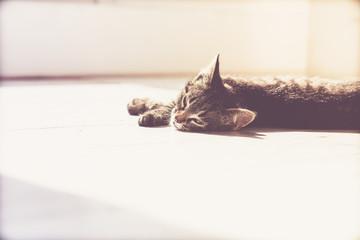 Sleepy Gray Domestic Kitten Lying on the Floor