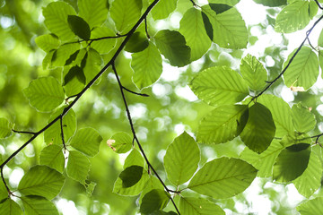 beech tree leaves in springitime, nature background