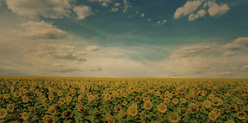 Vintage sunflower field