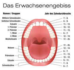 Teeth names and permanent teeth eruption chart with accurate notation of the different teeth, groups and the year of eruption. Isolated vector illustration over white background. GERMAN LABELING!