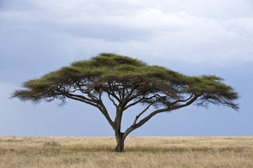 Tanzania, Serengeti National Park, Seronera area, an acacia