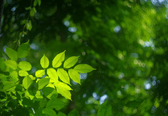 soft focus of green leaf in the morning