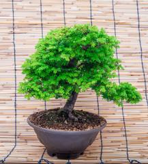 bonsai on makisu background