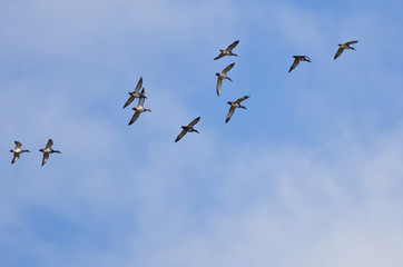 Flock of American Wigeons Flying in a Cloudy Sky