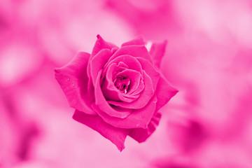 rose pink background