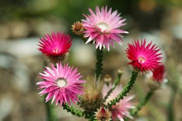 Pink flowers in Kirstenbosh botanical gardens