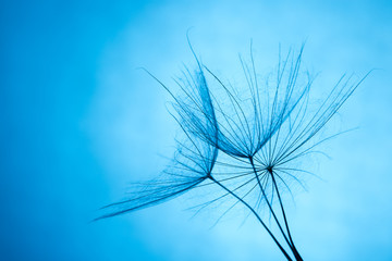 close up of dandelion on the blue background