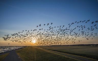 Flying goose, Terschelling The Netherlands