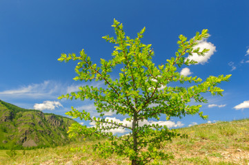 Small larch in highland meadow in Altai mountains in summer