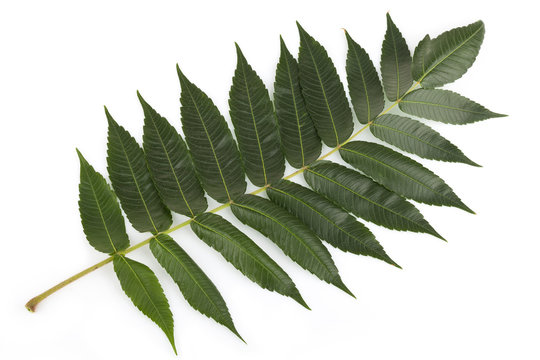 Staghorn sumac leaves on white