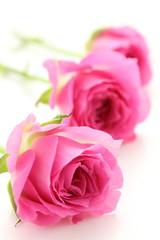 薔薇 カンタービレ