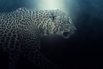 Digital photo manipulation of a Sri lankan leopard. Soft focus effect in action