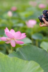 蓮の花を撮る
