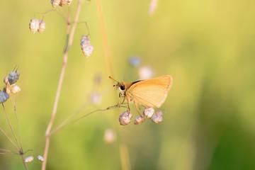 Gossamer Winged Butterfly in the Evening Sun