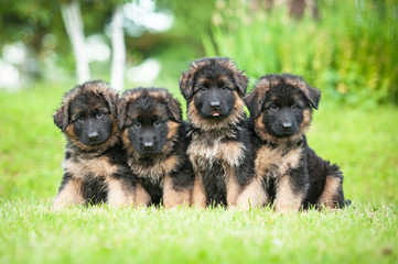 Group of four little german shepherd puppies