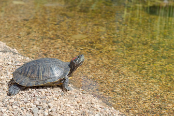 Red-eared slider down in the water. Turtle goes into water