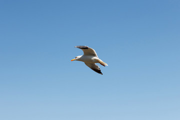 Flying Seagulld