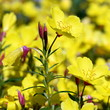 Evening primrose (Sundrops)