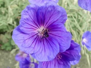 Biene sammelt Honig auf Storchschnabel