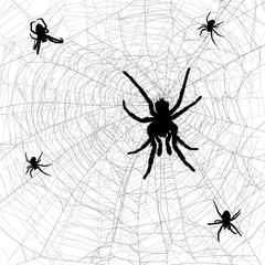 black and grey web with five spiders