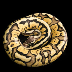 Ball Python -Python regius