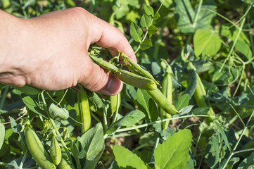 Harvesting of ripe green peas