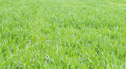Field sown by wheat