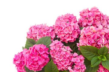 Photo sur Plexiglas Hortensia pink hortensia flowers