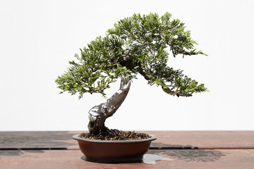 Juniperus sabina bonsai on a wooden table