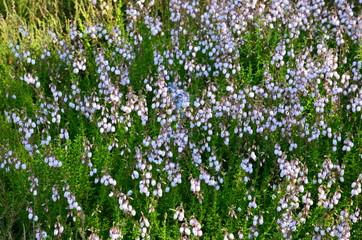 Irische Glockenheide weiß - Daboecia cantabrica Alba