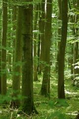Buchen im Nationalpark Hainich