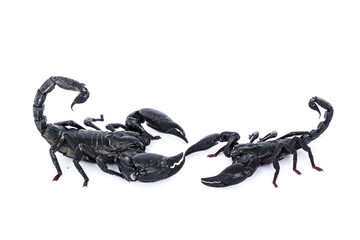 Black scorpion on white isolated