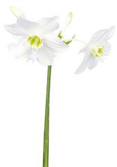 Papiers peints Narcisse fleurs blanches de narcisse sur fond blanc