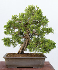 Juniperus chinensis itoigawa bonsai on a wooden table