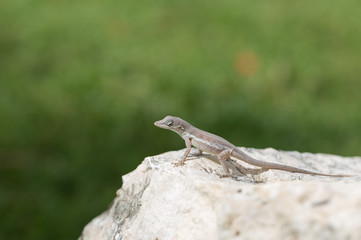 A Small Lizard Resting on a Rock