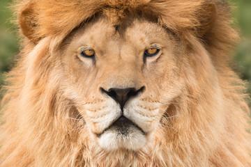 Fototapete - Lion king