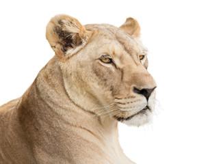 Fototapete - Lioness face