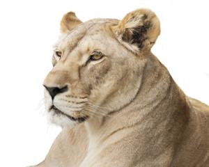 Fototapete - Lioness portrait