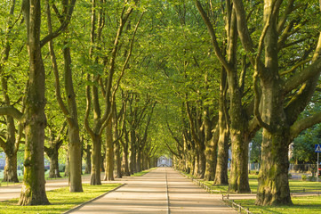 alley of plane trees in the morning light